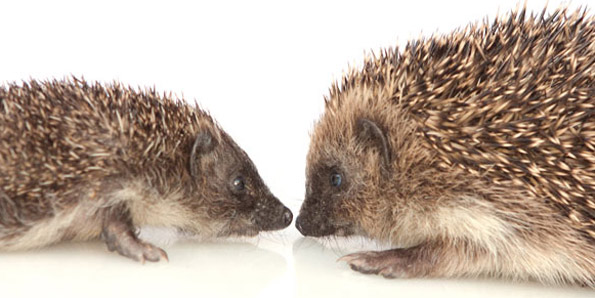 little and large hedgehogs