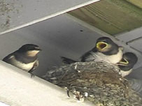 The fledgling swallows and parent