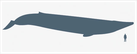 Graphic showing size of blue whale relative to human