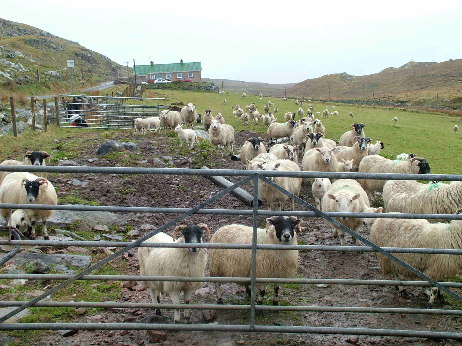Sheep at Dalbeg