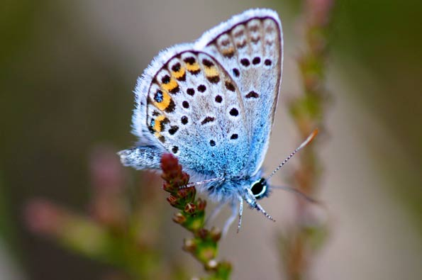 Silver-studded blue by Ian A Kirk