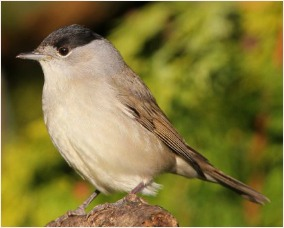 Male black cap. Picture from BTO and Nick Stacey