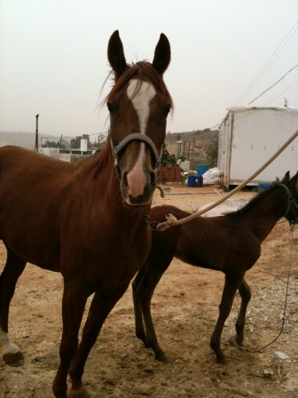 This mare is called Adab it is calm mare and I like to ride it.