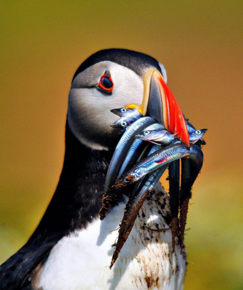 Puffin by Steve Waterhouse