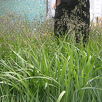Bbc Gardening Plant Finder Flax Lily
