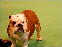 A dog at Crufts 2008