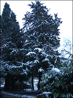 Snow laden pine trees in Moseley Park