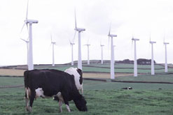 Picture shows wind farm with cows in foreground