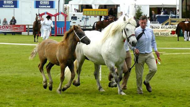 Islay of Whitefield being shown in the main ring with her foal. The mare went on to win the place of breed champion.