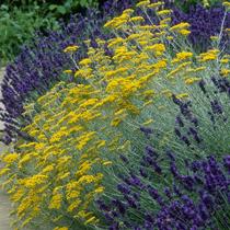 Bbc Gardening Plant Finder Curry Plant