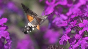 Humming-bird Hawk-moth by Jill Pakenham/BTO