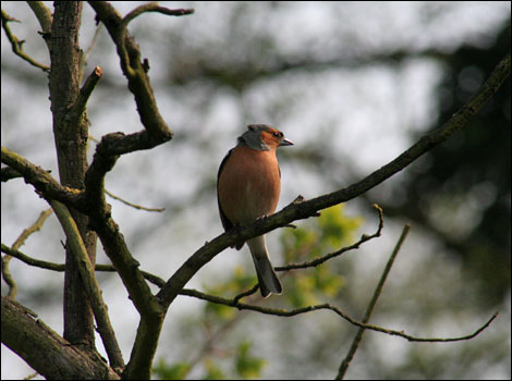 Chaffinch at Calstone near Calne - Helen McDougall