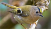 A tiny goldcrest by Ashley Cohen