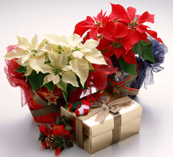 Bbc Gardening Blog What To Do With Christmas Plants In