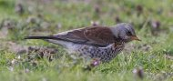an image of a fieldfare, copyright owned by Blueskybirds.co.uk.