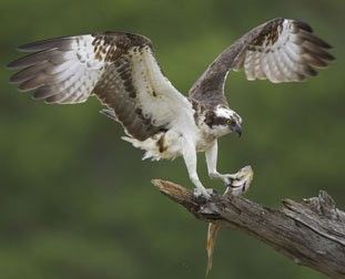 Osprey from the Nature Picture Library