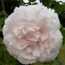 bbc gardening plant finder climbing rose. Black Bedroom Furniture Sets. Home Design Ideas