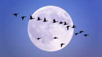 Migrating Geese from the Nature picture Library
