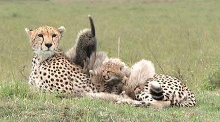 Shakira the cheetah with cubs
