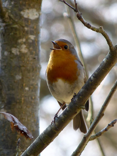 Robin singing © Lisa Cox from the BBC Springwatch Flickr Group