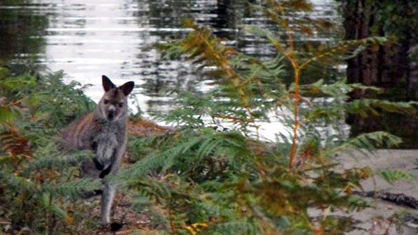 Alastair Taylor from Aberdeen sent us his photos from a recent trip wallaby spotting at Loch Lomond.
