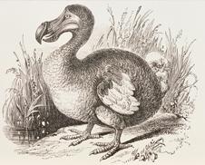 Dodo bird extinction date