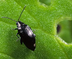 Garden Beetle Pests Identification Uk   Fasci Garden