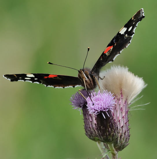 Red admiral by Richard Bartlett