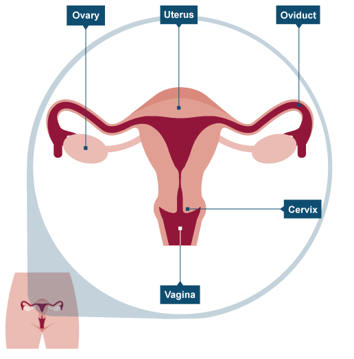 Female sexual reproductive organ