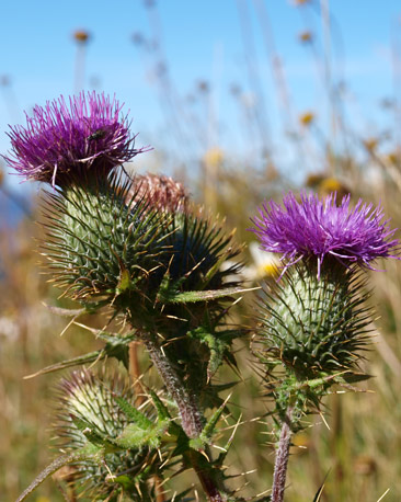 Thistles (courtesy of Calum Ross )