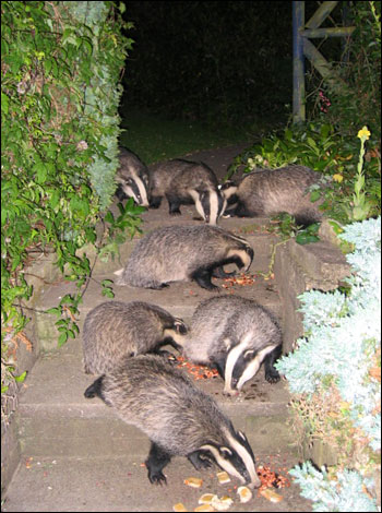 Badgers at Crockerton - Keith Childs