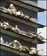 Kittiwake nesting tower
