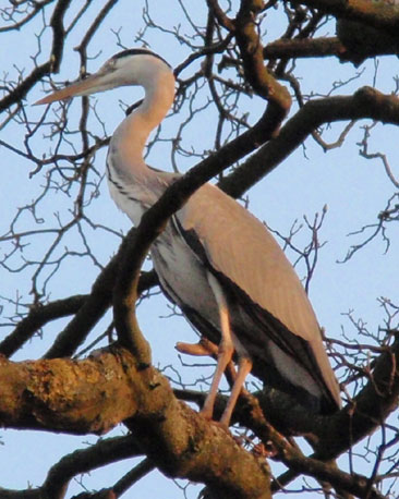 Jenny Swan spotted this heron at the Water of Leith in Edinburgh.