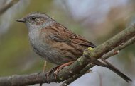 Dunnock, copyright owned by Blueskybirds.co.uk