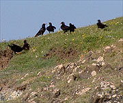 Several Choughs gathering on the hillside