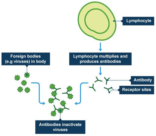 Bbc intermediate 2 bitesize biology blood revision page 5 lymhocytes and antibodies ccuart Choice Image