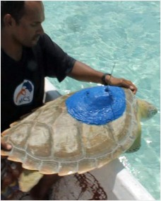 Turtle being release with satellite tracker attached
