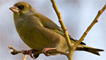 A greenfinch in Flintshire by 'the black fox'