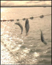 Reeling in fish during the Alaskan great wild salmon run