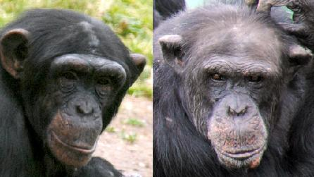 Chimps at Colwyn Bay Zoo
