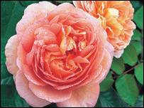 Abraham Darby Rose bred by David Austin