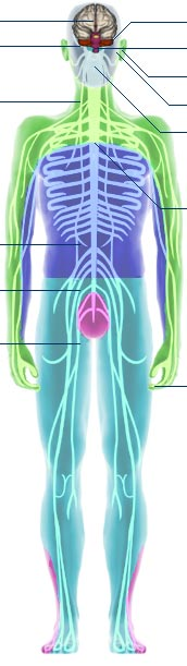 Bbc science nature human body and mind anatomy nervous anatomy ccuart Images