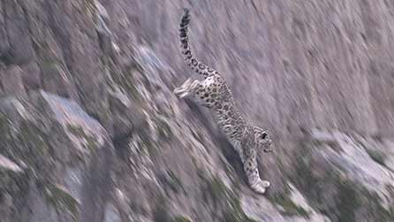 Planet Earth: Snow Leopard hunting in the Himalayas