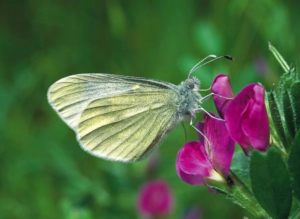 Cryptic wood white by Robert Thompson/Butterfly Conservation