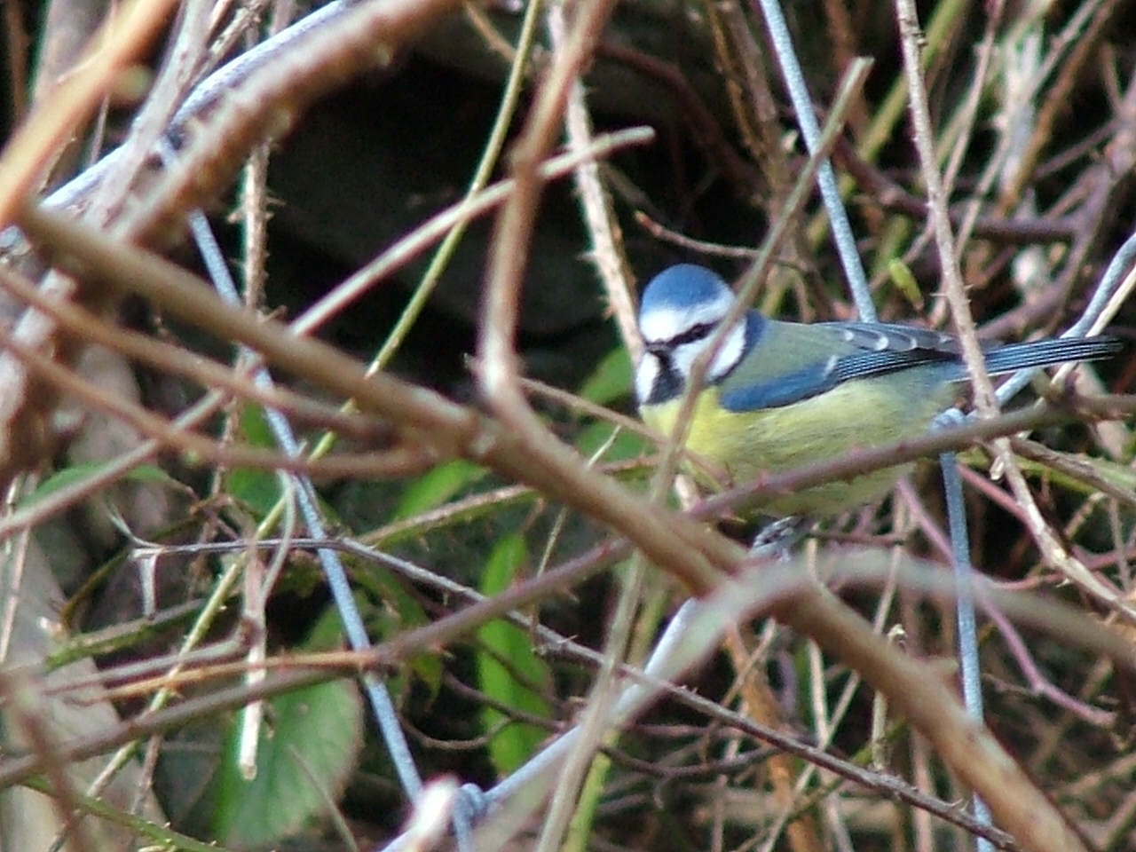 Blue tit near the Woodlands Centre