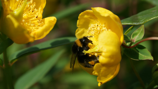 "Pete Campbell from Inverness starts this gallery with a shot of a bumble bee collecting pollen in his garden.  He says, ""We scattered lots of wild flower seeds in the spring and the bees are thriving.  Everyone with a garden should do the same!"""