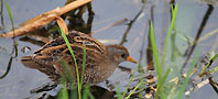Spotted crake, copyright owned by RSPB.