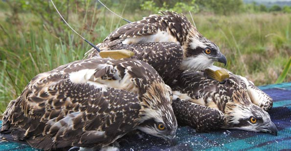 osprey chicks with satellite tags