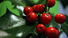 Photograph of holly leaves and berries