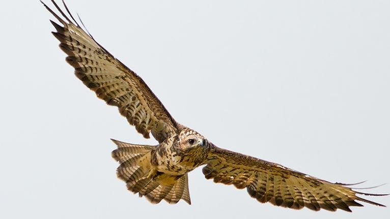 birds prey list buzzard2.jpg